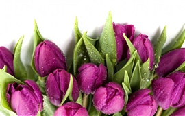 Purple tulips, water drops, white background
