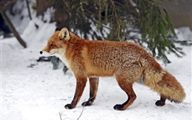 Preview wallpaper Red fox side view, snow, winter