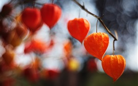 Preview wallpaper Red physalis lanterns, plants