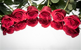Red roses, reflection, white background