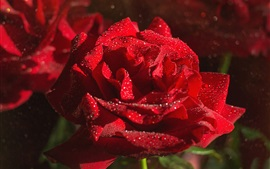 Preview wallpaper Red roses, water drops, sunshine