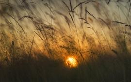 Reeds, sun, morning