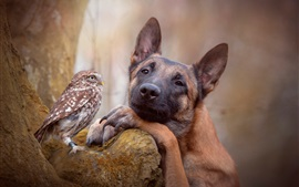 Shepherd dog and owl, friends