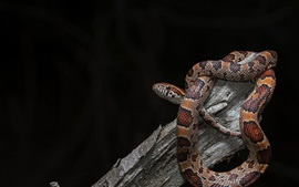Snake, viper, black background