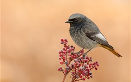 Preview wallpaper Sparrow, red berries, frost