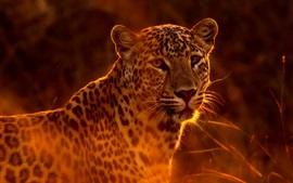 Пятнистый леопард, трава, солнце, подсветка