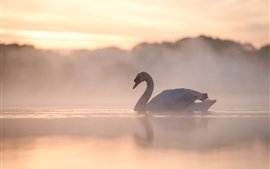 Swan, lake, fog, morning