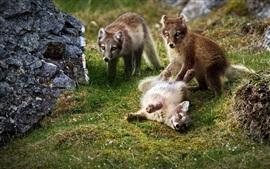 Три лиса, детеныши, игривые