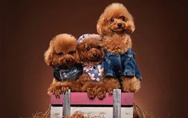 Preview wallpaper Three poodles, puppies