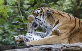 Preview wallpaper Tigers, family, cub, playful