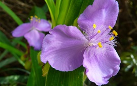 Preview wallpaper Tradescantia, purple flowers