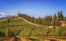 Тоскана, виноградник, зелень, холмы, деревья, Италия