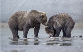 Preview wallpaper Two bears, cubs, river