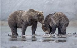 Dois, ursos, filhotes, rio