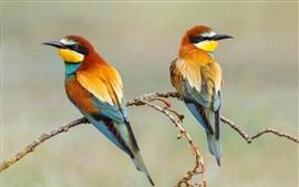 Dois pássaros, europeu, bee-eater