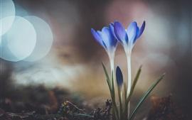 Dois, azul, açafrões, primavera, bokeh