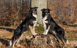 Preview wallpaper Two dogs, border collie, stump, trees
