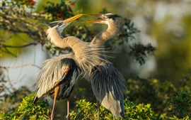 Preview wallpaper Two herons, birds