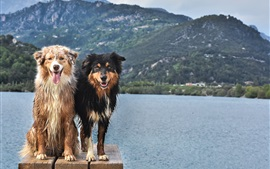 Preview wallpaper Two wet dogs, lake