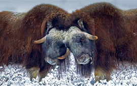 Preview wallpaper USA, Alaska, musk ox, horns, snow