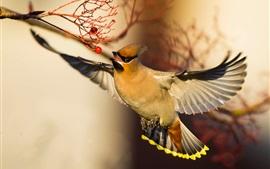 Waxwing, полет птицы, крылья, красные ягоды