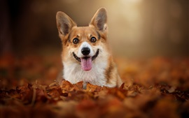 Preview wallpaper Welsh Corgi, dog, look, tongue