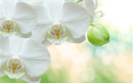 Preview wallpaper White phalaenopsis, petals