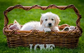 White puppy in basket