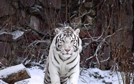 Preview wallpaper White tiger front view, snowy