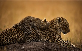 Preview wallpaper Wild Cats, leopards, cub