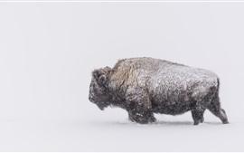 Зима, снег, буйвол