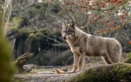 Vorschau des Hintergrundbilder Wolfsblick, Wald