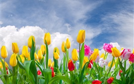 Preview wallpaper Yellow and pink tulips, flowers field, sky, clouds