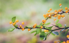 Yellow berries, dewdrops, twigs