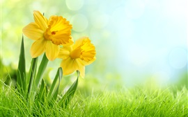 Preview wallpaper Yellow daffodils flowers, weed