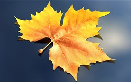 Folha de maple amarela, fundo cinza