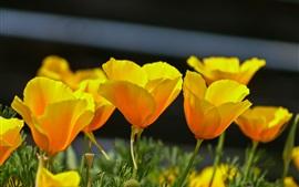 Papoulas amarelas, primavera, flores