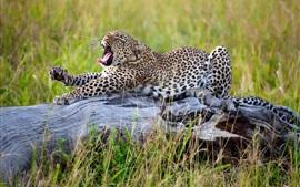 Africano, leopardo alongamento, grama