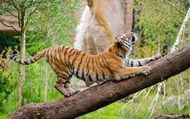 Amur tigre trepar árbol
