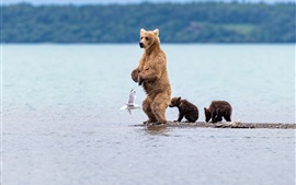 Preview wallpaper Bear standing, cubs, seagull, sea