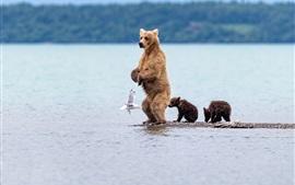 Bear standing, cubs, seagull, sea