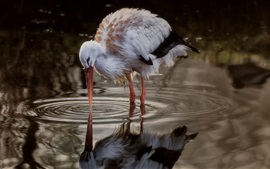 Bird close-up, stork standing in puddle