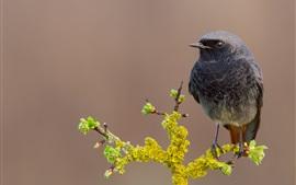 Pássaro preto, flores, botões, primavera