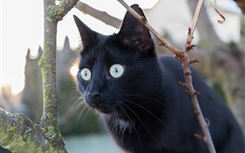 Black cat, look, eyes, twigs