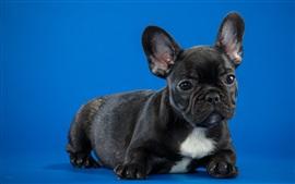 Filhote de cachorro preto, fundo azul