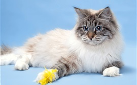 Preview wallpaper Blue eyes cat, furry pet