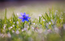 Preview wallpaper Blue flower bloom, grass, water drops, spring