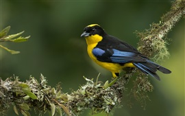 Preview wallpaper Blue-winged mountain-tanager