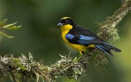 Azul-alado montanha-tanager, pássaro