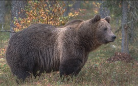 Brown bear side view, grass, trees